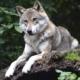 der Wolf im Hund