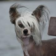Hund ohne Fell