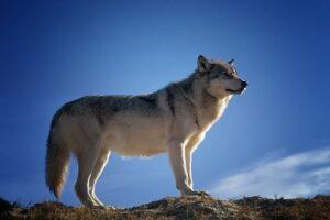 wolf Hund